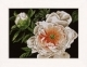 Peony Lady of the Evening - (KIT)