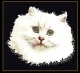 White Persian Cat - #GOK1045B Thae G. KIT