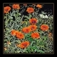 Orange Poppies - #GOK2062B Thae G. KIT