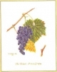 Grape Vine - #GOK2086 Thae G.