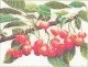 Branch Of Cherries - #GOK3014 Thae G.