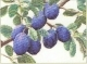 Branch Of Plums - #GOK3015 Thae G.