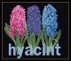 Hyacinth - #GOK434B Thae G. KIT