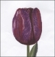 Purple Triumph Tulip