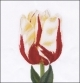 Flamed Tulip