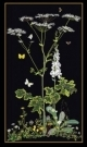 Queen Ann's Lace - #GOK967B Thae G. KIT